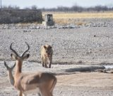 featured image Nog een dag op game drive in Etosha